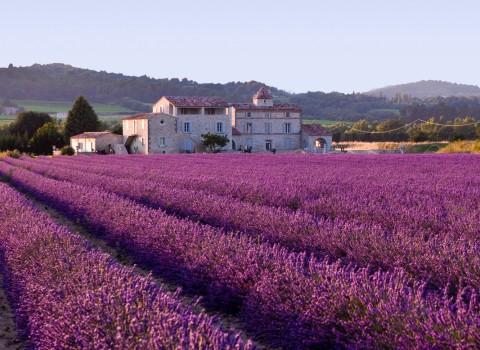 Lavender field headache migraine wikimedia labled for reuse