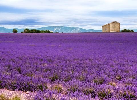 lavender treatment migraine headache